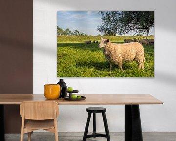 Eén schaap komt naar voren en de andere schapen zijn afwachtend