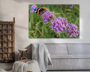 Schmetterling (Vanessa atalanta) am Nektar von (Verbena bonariensis) von Lieven Tomme