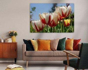 Hollandse tulpen in wit met rode streep von Susan Dekker