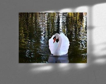 Swan Stare