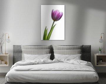 Tulip on white von John Bouma