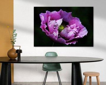 purple poppy sur Yvonne Blokland
