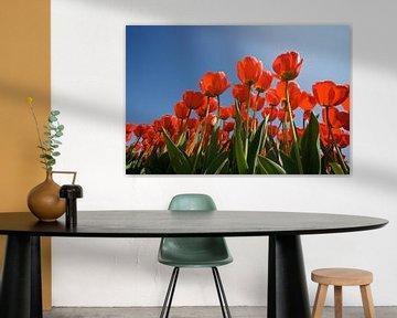 Rode tulpen van Ties van Veelen