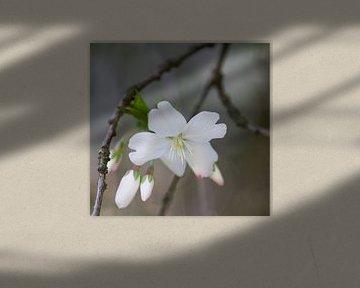 fleur blanche de printemps sur Ingrid Van Damme fotografie