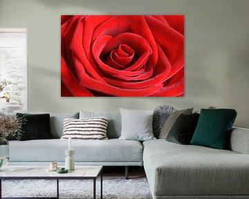 Rode roos van Barbara Brolsma
