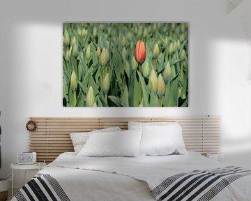 rode tulp als eerste in bloei van eric van der eijk