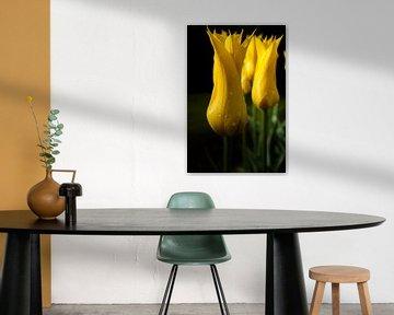 Tulipe flamboyante