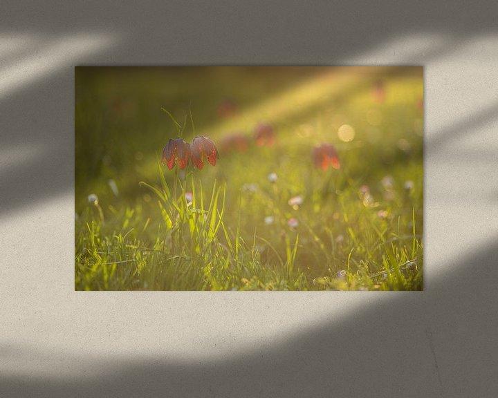 Impression: Fritillaria tubiformis at sunset sur Tux Photography