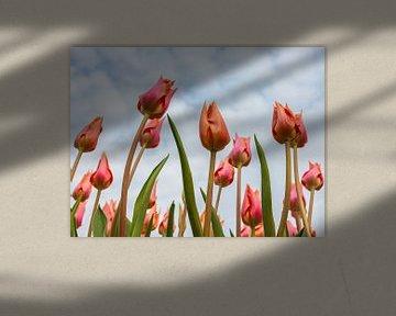 Zie de tulpen groeien van Martin Bergsma