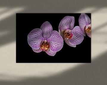 "Paarse Bloem Orchidea ""Drie op een rij"" sur Rob Smit"