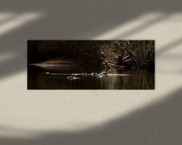 Nijlpaarden 2 Panorama van Rob Smit