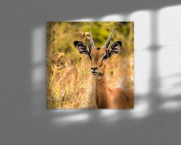 "De Impala ""Big black beautiful eyes"" van Rob Smit"